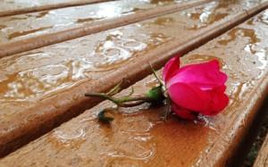 web-rose-on-bench